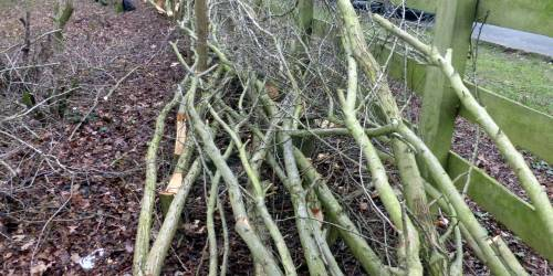 Hedge laying 2