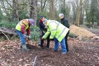 Black Poplar sapling planted in Parklands